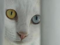 heterocromia-olhos-coloridos