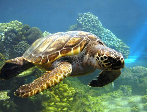 Armação de óculos tartaruga: é feita do casco mesmo?